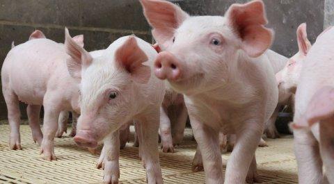 2020 trouxe crescimento da produção de suínos, exportações...