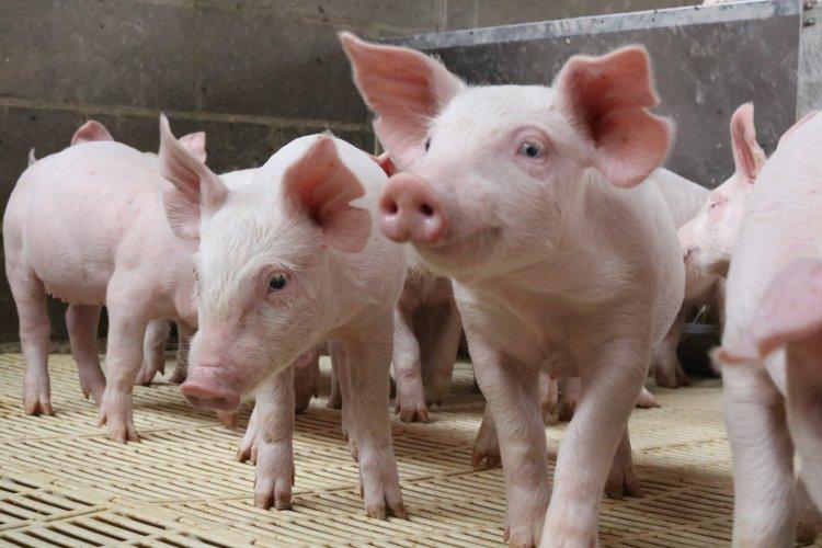 2020 trouxe crescimento da produção de suínos, exportações recordes e preços com fortes oscilações