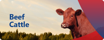 Discover our products and feed for beef cattle